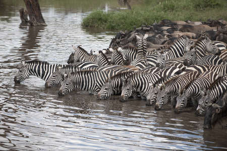 Zebras and Wildebeest at the Serengeti National Park, Tanzania, Africa photo