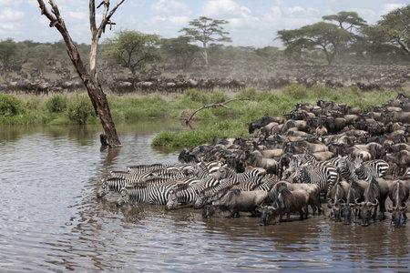 wildebeest: Zebras and Wildebeest at the Serengeti National Park, Tanzania, Africa Stock Photo