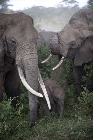 Elephants at the Serengeti National Park, Tanzania, Africa photo