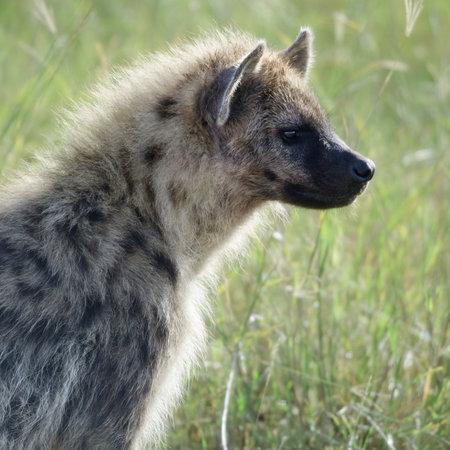 hienas: Hiena en Parque Nacional del Serengeti, Tanzania, África