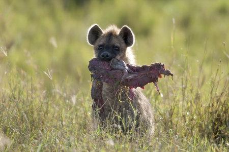 hienas: Hiena en el Parque Nacional del Serengeti, Tanzania, África