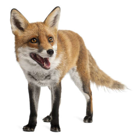 furry tail: Red Fox, Vulpes vulpes, 4 years old, in front of white background Stock Photo