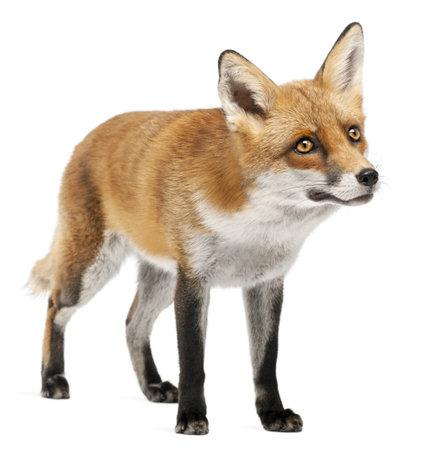 volpe rossa: Red Fox, Vulpes vulpes, 4 anni, davanti a sfondo bianco Archivio Fotografico