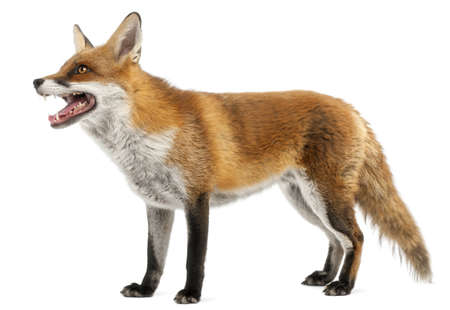 zorro: Red Fox, Vulpes vulpes, 4 a�os de edad, delante de fondo blanco Foto de archivo