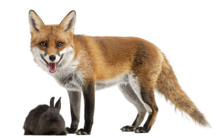 white tail: Red Fox, Vulpes vulpes, 4 years old, playing with a rabbit in front of white background