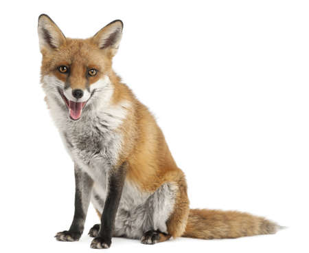 foxes: Red Fox, Vulpes vulpes, 4 years old, in front of white background Stock Photo