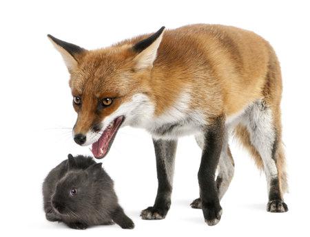 volpe rossa: Red Fox, Vulpes vulpes, 4 anni, giocando con un coniglio di fronte a sfondo bianco