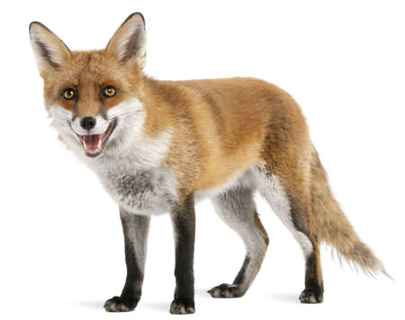 Red Fox, Vulpes vulpes, 4 years old, in front of white background Stock Photo