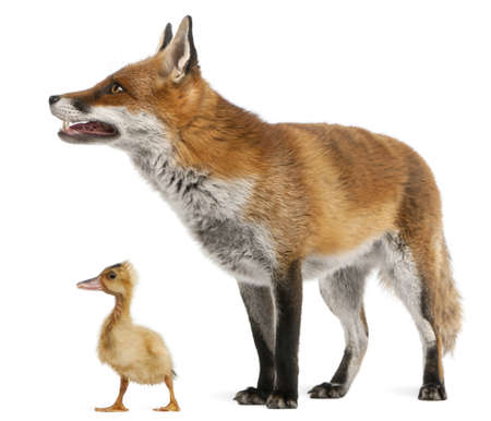 animal themes: Red Fox, Vulpes vulpes, 4 years old, playing with a domestic duckling in front of white background Stock Photo