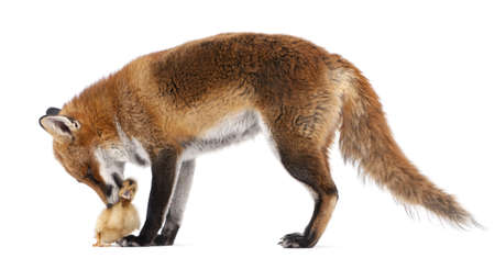 duckling: Red Fox, Vulpes vulpes, 4 years old, playing with a domestic duckling in front of white background Stock Photo