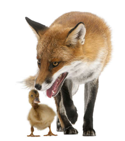 domestic duck: Red Fox, Vulpes vulpes, 4 years old, playing with a domestic duckling in front of white background Stock Photo