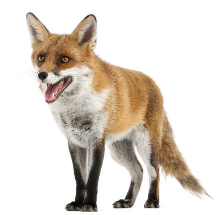 zorro: Red Fox, Vulpes vulpes, 4 años de edad, delante de fondo blanco Foto de archivo
