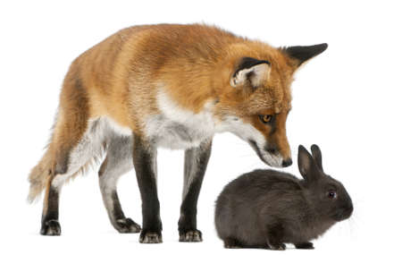 fox fur: Red Fox, Vulpes vulpes, 4 years old, playing with a rabbit in front of white background