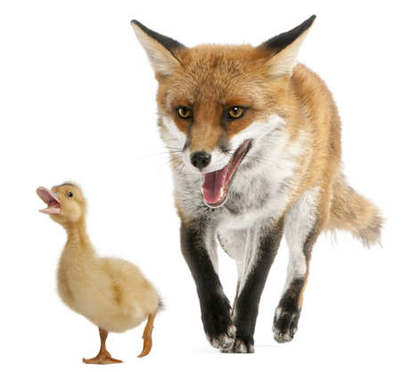 4 years old: Red Fox, Vulpes vulpes, 4 years old, playing with a domestic duckling in front of white background Stock Photo