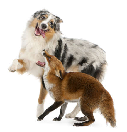 fox fur: Red Fox, Vulpes vulpes, 4 years old, playing with Australian Shepherd dog in front of white background