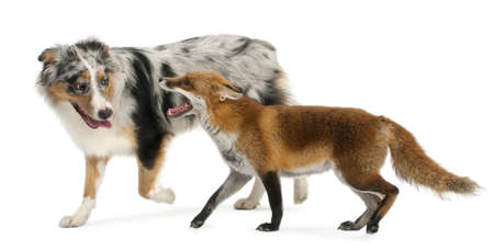 australian shepherd: Red Fox, Vulpes vulpes, 4 years old, playing with Australian Shepherd dog in front of white background