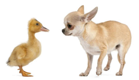 Chihuahua playing with a domestic duckling in front of white background photo