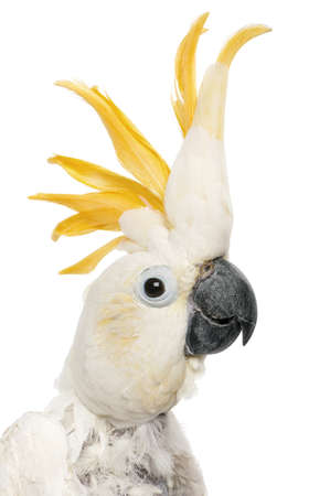 Close-up of Sulphur-crested Cockatoo, Cacatua galerita, in front of white background