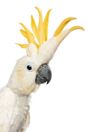 cockatoo: Close-up of Sulphur-crested Cockatoo, Cacatua galerita, in front of white background Stock Photo