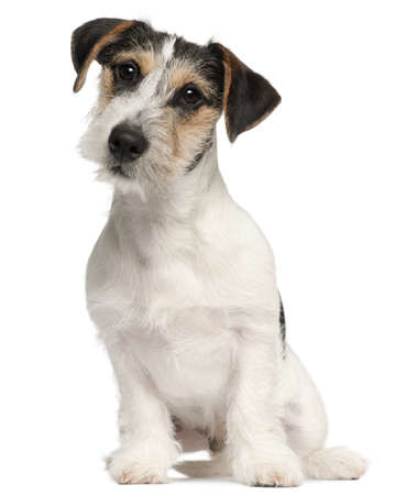 Jack Russell Terrier puppy, 5 months old, sitting in front of white background photo
