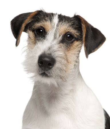 Close-up of Jack Russell Terrier puppy, 5 months old, in front of white background photo