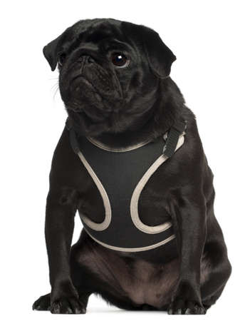 black pug: Pug wearing vest, 1 year old, sitting in front of white background Stock Photo