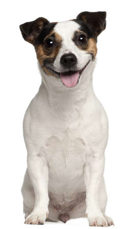 Jack Russell Terrier, 3 years old, sitting in front of white background photo
