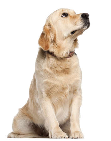 golden retriever: Golden Retriever, 19 months old, sitting in front of white background
