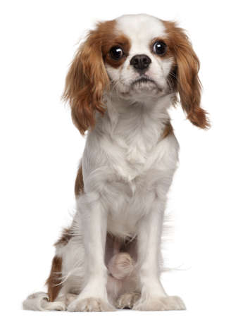 Cavalier King Charles Spaniel, 9 months old, sitting in front of white background photo