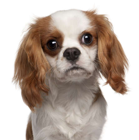 9 months: Close-up of Cavalier King Charles Spaniel, 9 months old, in front of white background