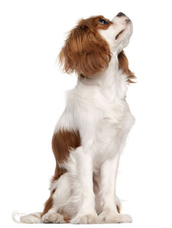 dog looking up: Cavalier King Charles Spaniel, 9 months old, sitting in front of white background