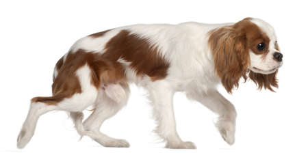 cavalier: Cavalier King Charles Spaniel, 9 months old, walking in front of white background