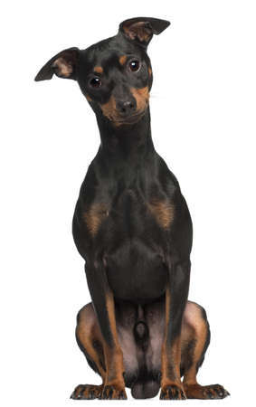 pinscher: Miniature Pinscher, 1 and a half years old, sitting in front of white background