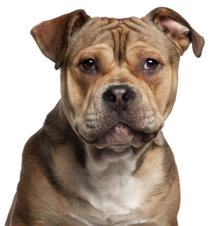 american staffordshire terrier: Close-up of American Staffordshire Terrier, 9 months old, in front of white background