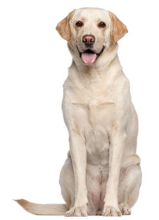 Labrador Retriever, 4 jaar oud, zitten in de voorkant van een witte achtergrond