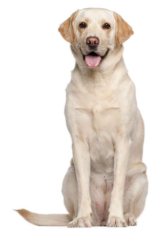 Labrador Retriever, 4 years old, sitting in front of white background