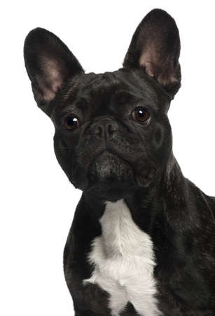 Close-up of French Bulldog, 2 and a half years old, in front of white background photo