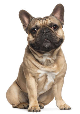 animal themes: French Bulldog, 18 months old, sitting in front of white background Stock Photo