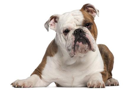 bulldog: Bulldog Ingl�s, 18 meses de edad, tumbado delante de fondo blanco Foto de archivo