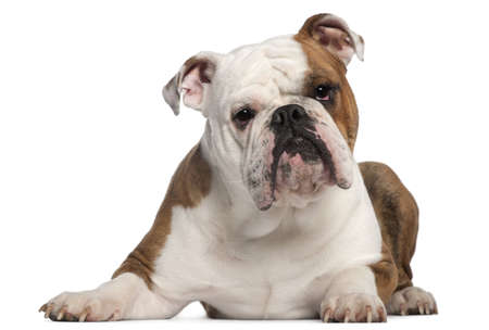 English Bulldog, 18 months old, lying in front of white background Stock Photo - 10761203