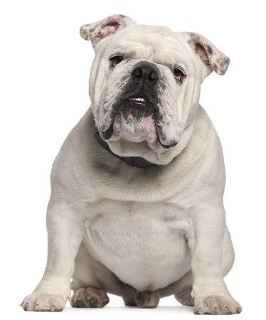 english bulldog: English Bulldog, 14 months old, sitting in front of white background