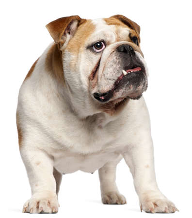 English Bulldog, 11 months old, standing in front of white background photo