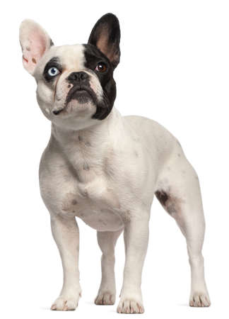 animal themes: Half blind French Bulldog, 2 years old, standing in front of white background