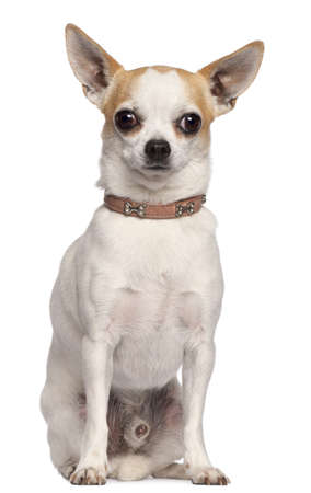 Chihuahua, 2 years old, sitting in front of white background photo