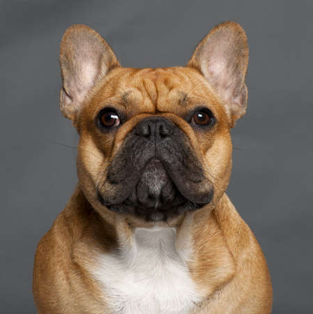 1 year old: Close-up of French Bulldog, 1 year old, in front of grey background