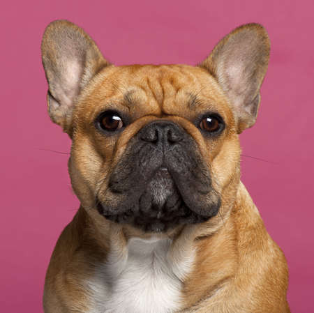 Close-up of French Bulldog, 1 year old, in front of pink background photo