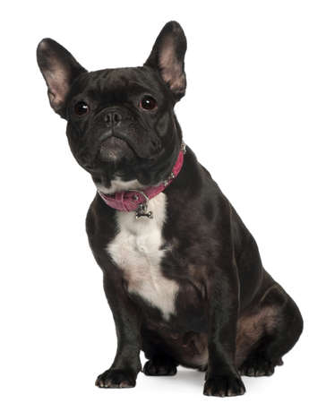 animal themes: French Bulldog, 30 months old, sitting in front of white background Stock Photo