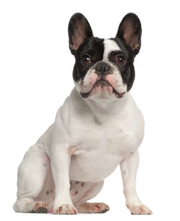 French Bulldog, 1 year old, sitting in front of white background photo