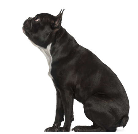 French Bulldog, 18 months old, sitting in front of white background photo