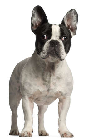 french bulldog: French Bulldog, 3 years old, standing in front of white background Stock Photo